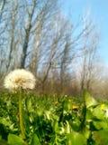Dandelion znak wiosna Obraz Stock