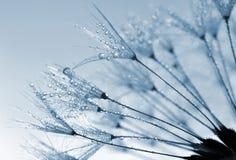 dandelion zroszony Zdjęcia Stock