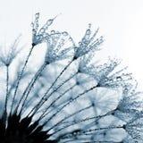 dandelion zroszony Obrazy Royalty Free