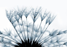 dandelion zroszony Zdjęcia Royalty Free