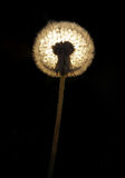 dandelionack предпосылки получая свет Стоковое Изображение RF