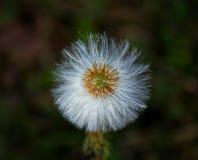 dandelionmacro royaltyfria foton