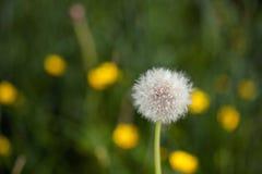 Dandelionr, gras, imagem de stock