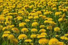 Dandelions łąkowi Zdjęcia Royalty Free