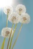dandelions światło słoneczne Zdjęcie Royalty Free