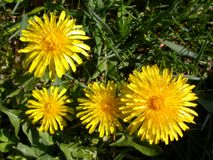 Dandelions 1. Group of dandelions shot from above royalty free stock image