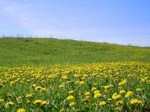 Dandelions_1 Royalty Free Stock Photo