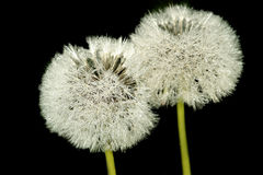 Dandelions. On a black background in morning dew Stock Photography