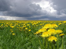 Dandelions. Field of dandelions and the storm sky Royalty Free Stock Image