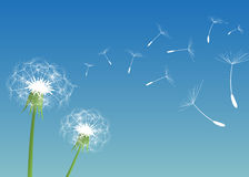 Dandelions. A light breeze shook dandelions Royalty Free Stock Image
