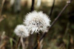 dandelions fotografie stock