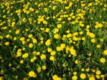 Dandelions. Yellow dandelions in a green grass Royalty Free Stock Photos