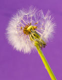 Dandelions 12. Dandelions isolated on the color backgrounds Stock Photo