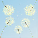 Dandelions. Air dandelions on a background of pure blue sky Royalty Free Stock Photo