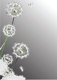 Dandelions. Lightness of dandelions on grey fon Royalty Free Stock Photography