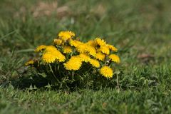Dandelions. Bunch of dandelions in grass Stock Image