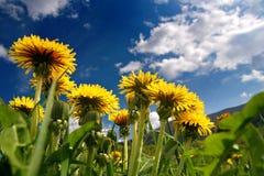 dandelions obraz royalty free