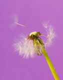 Dandelions 14. Dandelions isolated on the color backgrounds Royalty Free Stock Image