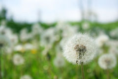 Dandelions Royalty Free Stock Image