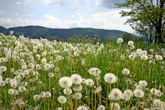 Dandelions. Field of dandelions with mountain in background, Serbia Royalty Free Stock Image