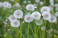 Dandelions. Ukraine. Nature in spring. Dandelions closeup stock photo
