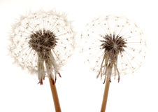 Dandelions. Two blooming dandelions, isolated on white Royalty Free Stock Photos