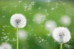 Dandelions. With flying seeds on greed grass background Royalty Free Stock Photo