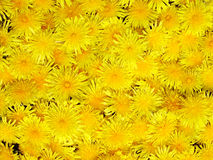 Dandelions. Texture of dandelions Stock Photography