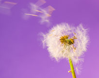 Dandelions 17. Dandelions isolated on the color backgrounds Stock Image