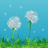 Dandelions. Two dandelions in the wind Stock Images