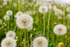 Dandelions Royalty Free Stock Photos