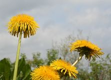 Dandelions. A few dandelions standing out against the sky royalty free stock images