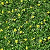 Dandelions. On Grass Seamless Texture Tile from Photographic Original Stock Photography