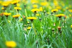 Dandelions. Raspustistilis yellow spots in the grass Royalty Free Stock Photos
