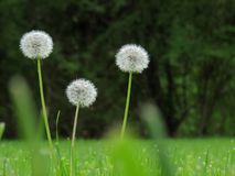 Dandelions. Three white dandelions with green background, focus on center dandelion Royalty Free Stock Photography