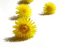 Dandelions. Isolated on white background Royalty Free Stock Photos
