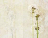 Dandelions Stock Images