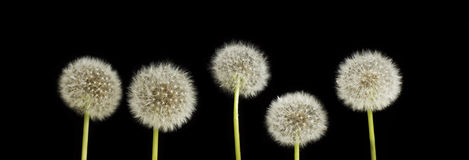 Dandelions. Stock Photography