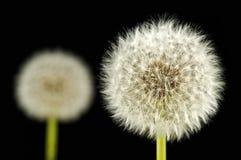 Dandelions. Stock Images