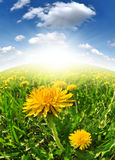 Dandelions. In the meadow - fisheye shot Royalty Free Stock Photography