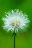 Dandelions. Close-up of dandelions flowers Royalty Free Stock Image