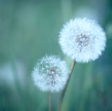 Dandelions. Closeup of two dandelions in a meadow Stock Photography