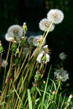 Dandelions. Royalty Free Stock Image