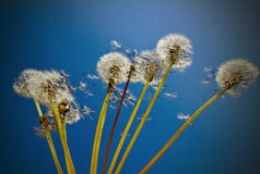 Dandelions. Stock Photo