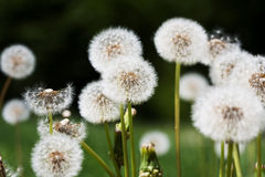 Dandelions. A background with a closeup view of dandelion flowers on the green Royalty Free Stock Photography