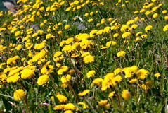 Dandelions. Field of dandelion flowers royalty free stock images