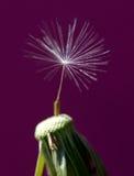 Dandelions 29 Royalty Free Stock Photos