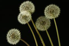 Dandelions Royalty Free Stock Photos