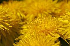 dandelions Immagini Stock Libere da Diritti