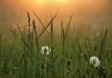 dandelions Imagens de Stock
